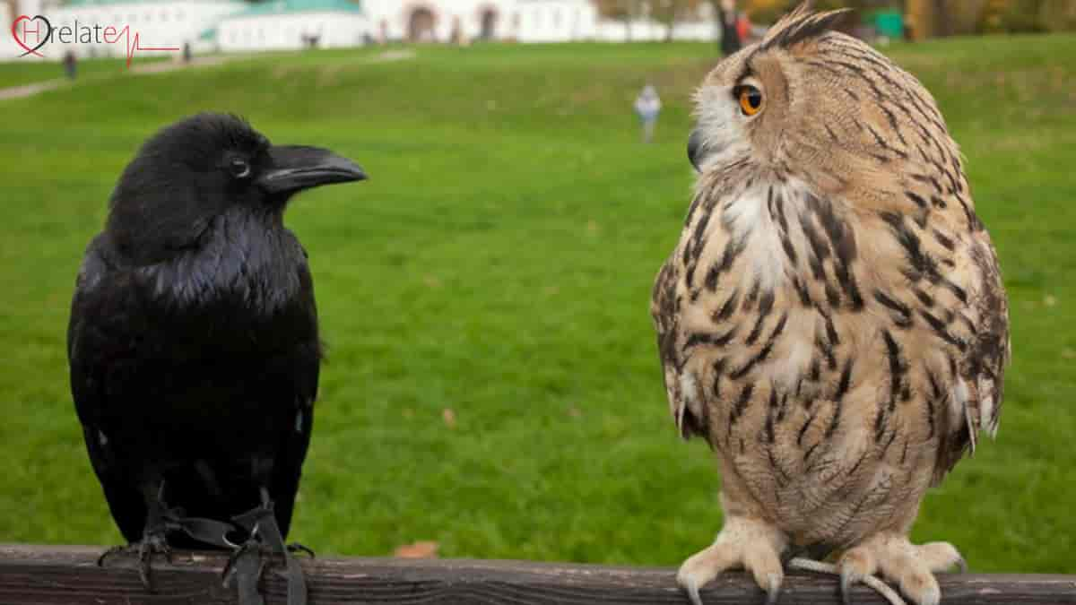 Owl and Crow Shakun Apshakun