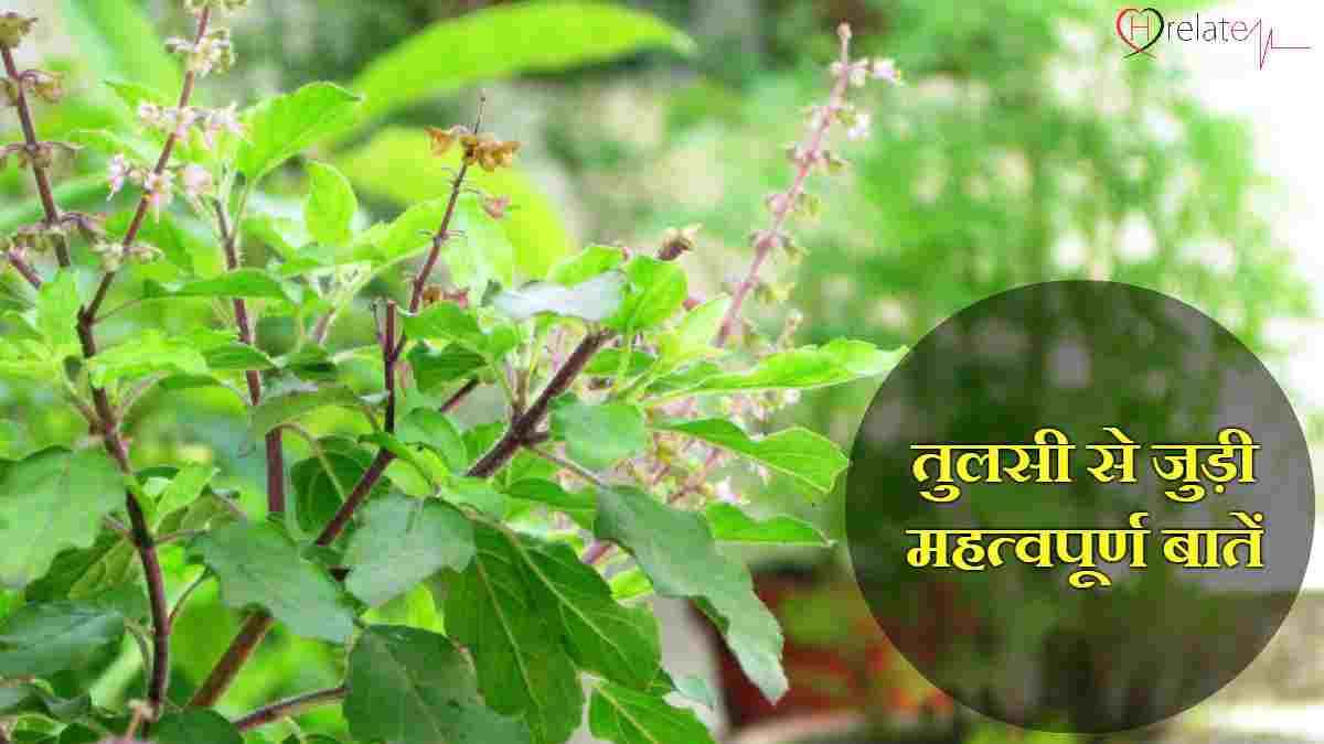 Tulsi Plant Information