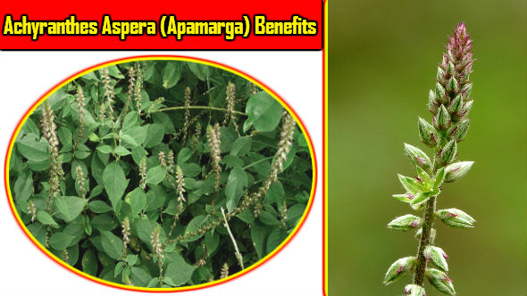 Apamarga Benefits in Hindi