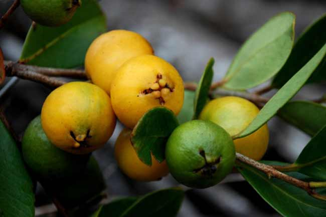 Warm-Guava-Leaves