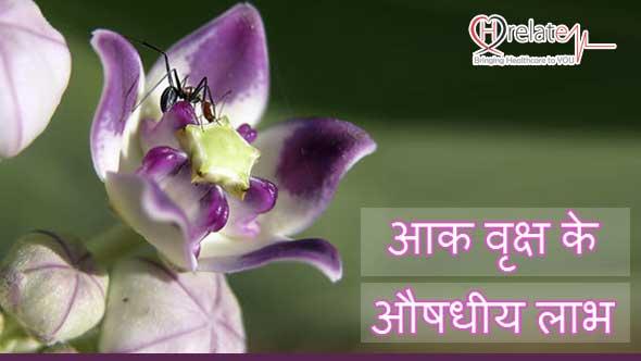 Aak Plant in Hindi