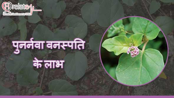 Punarnava in Hindi
