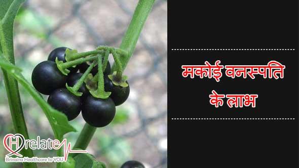 """Bharatvarsh ke prachin rishi-muniyo ko panchamved ki sangya se vibhushit kiya gaya. Chikitsiya paddhti mai ayurved ki jitni prashansa ki jaye unti kam hai. Ayurved hi dakshin bharat mai siddh vigyan ke roop mai viksit hua. Ayurved ka ek niti shlok hai """"Chikitsa se Parhej Behtar"""" arthat rog ka ilaj hai, un karno ka vinash jinse rog utpann huya hai. Apni dincharya aisi banao ki rog humare aaspas bhatak bhi na sake. Lekin jab rog ho hi gaya hai to uski roktham to karna hi padegi. Prakrati ne hume aneko aesi aushdhiya di hai, jinke prayog se hum bade se bade rog ko maat de sakte hai. Lekin iske liye jarurat hai un adushdhiy vanaspati ki jankari hona. Bahut si aushdhiya poudho ko hum jangali vanaspati ya faltu samjh kar fek dete hai. Abhi bhi samay hai agar hum inn aushdhiya poudho ki upyogita ko samjhkar inhe nasht hone se bacha sakte hai. Aisi hi ek divya aushadi hai Solanum Nigrum in Hindi. Jisse samanyatah log Makoi ke naam se jante hai. Sanskrit mai ise kakmachi ke naam se jana jata hai. Kahi-kahi ise chargoti, charboti, kabbaya ya gurumakoi bhi kaha jata hai. Alag-alag bhasha aur jagho par isse bahut alag-alag naam se log jante hai. Gujrati – piludi, Marathi – laghu kavdi, Panjabi – kachmach, mako, Tamil – Mantakkali kaha jata hai, jabki Mumbai mai ghati, kamuni, mako, Bangal – kakmachi, talidan tatha angreji mai isse common night shade bola jata hai. Solanum Nigrum in Hindi: Janiye Iske Gun aur Prabhav Makoi ka poudha mirch ke poudhe ke saman hi hota hai. Iski uchai lagbhag 3 feet tak hoti hai. Iske phul tatha dalia bhi lagbhag mirchi ke poudhe ke saman hi hote hai. Iske phal chote-chote tatha gol hote hai jo samuh mai rahte hai. Pakne ke baad yeh phal lal tatha baad mai yeh kale rang ke ho jate hai. Iske phul chote-chote tatha safed rang ke hota hai jo bilkul mirchi ke phulo ki tarah hi dikhai dete hai. Makoi ya Kakmachi tridosh nashak arthat vaat, pitt aur cough teeno ka shaman karta hai. Yeh swad mai tilt arthat kadva hota hai. Iski prakrati garm, swar shodhak,"""