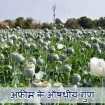 Opium in Hindi: Aushdhiya Guno se Bharpur Khushbudar Podha