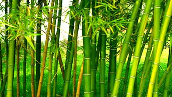 bamboo shoots in hindi