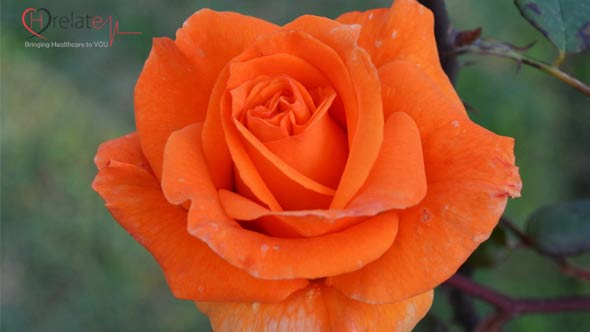 Orange Rose – Narangi Gulab